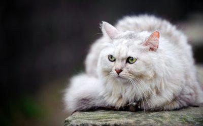 Comment et pourquoi identifier son chat?